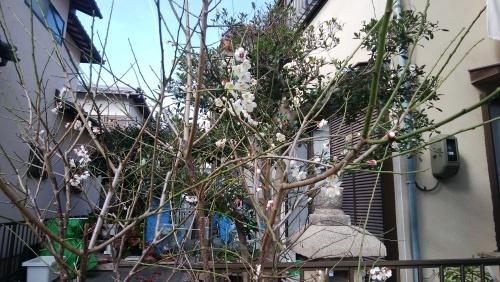 梅の花_f0129627_09283107.jpg