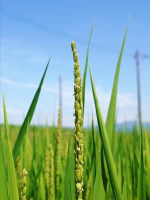 無農薬栽培『米粉』大好評販売中!熊本県菊池市七城町で無農薬栽培のひのひかり100%使用の米粉です!!_a0254656_18374773.jpg