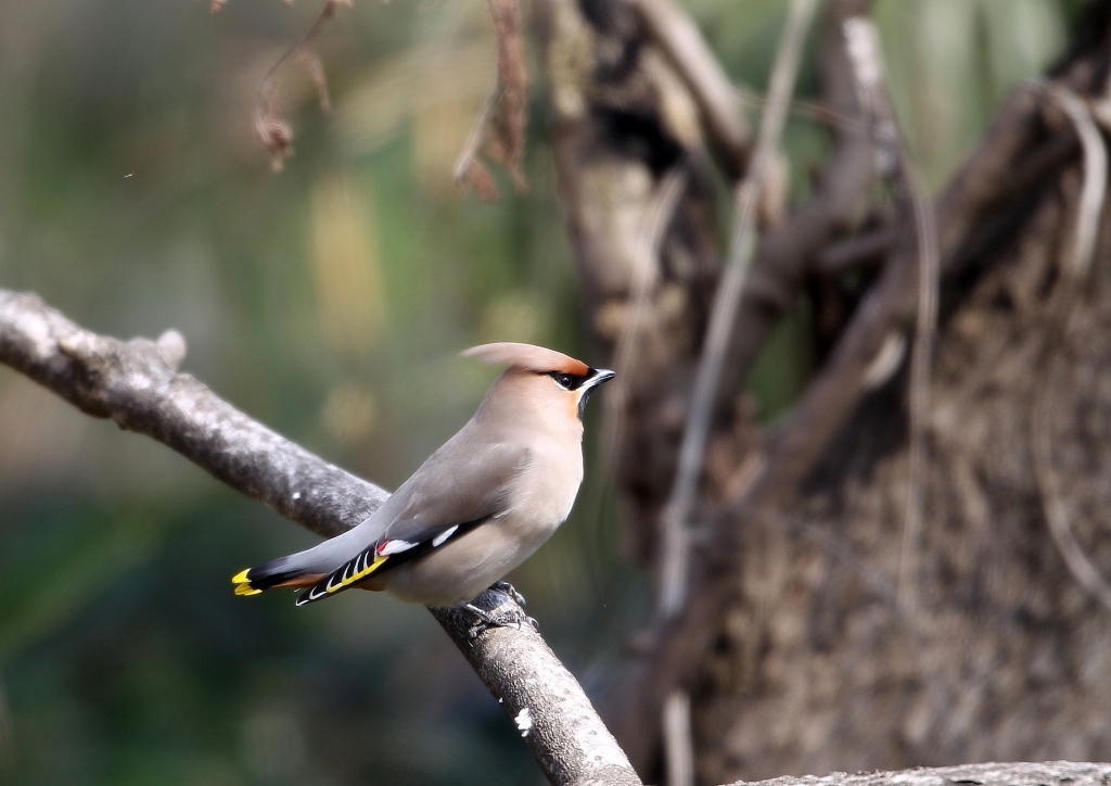 過眼線で分かるキレンジャクとヒレンジャク - T/Hの野鳥写真-Ⅲ