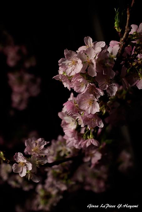 花のある風景 咲き始めの河津桜_b0133053_00174027.jpg