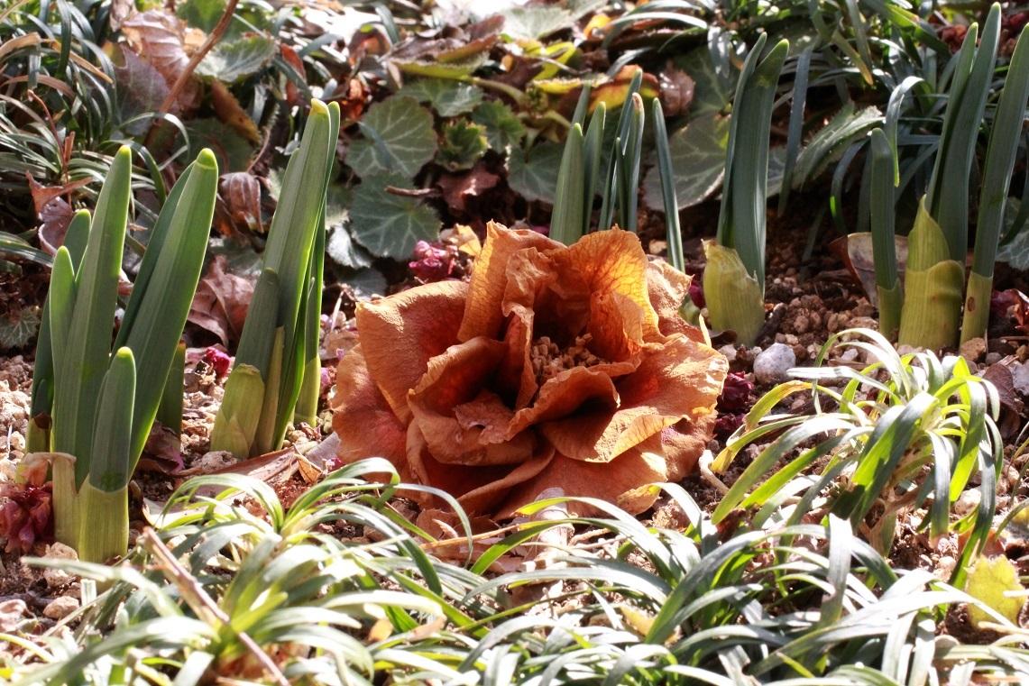 椿の花に想う ~椿『笑顔』、春咲き水仙~_a0107574_19473402.jpg