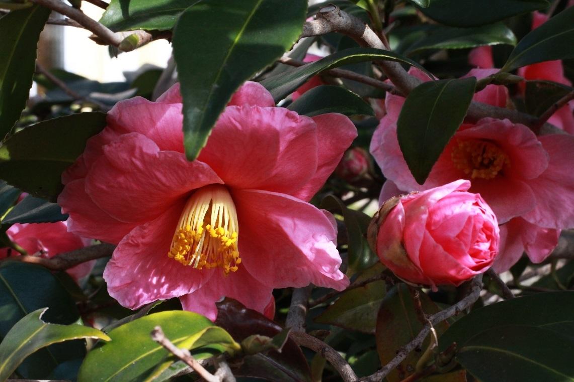 椿の花に想う ~椿『笑顔』、春咲き水仙~_a0107574_19474348.jpg
