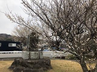 本日の梅と修善寺寒桜_d0155416_15252479.jpg