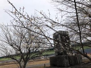 梅と修善寺寒桜_d0155416_15253062.jpg