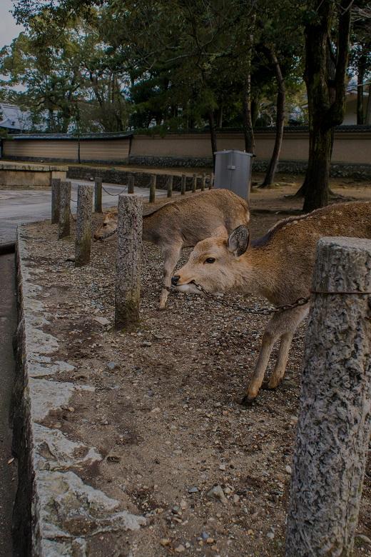 奈良の鹿たち②_e0363038_21461465.jpg
