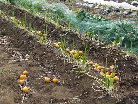 昨年より半月も早くサトイモ第一陣植え付け2・20_c0014967_96059.jpg