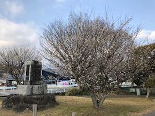 本日の梅と修善寺寒桜_d0155416_17034135.jpg