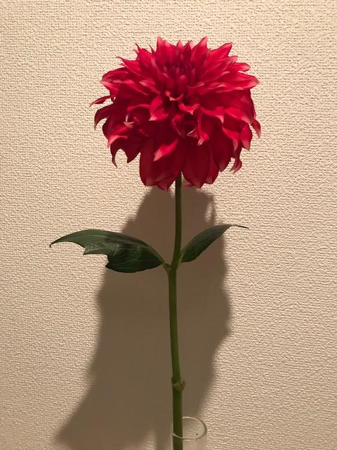 「花こ」のダリア_f0172744_18292131.jpg