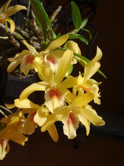 スターダスト・チヨミと原種シクラメンコウムの開花など_a0136293_15150118.jpg