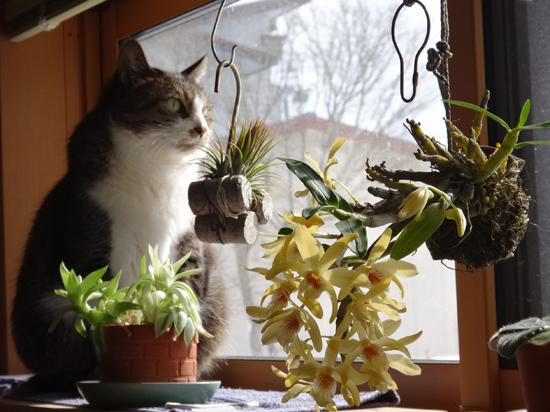 スターダスト・チヨミと原種シクラメンコウムの開花など_a0136293_15210677.jpg