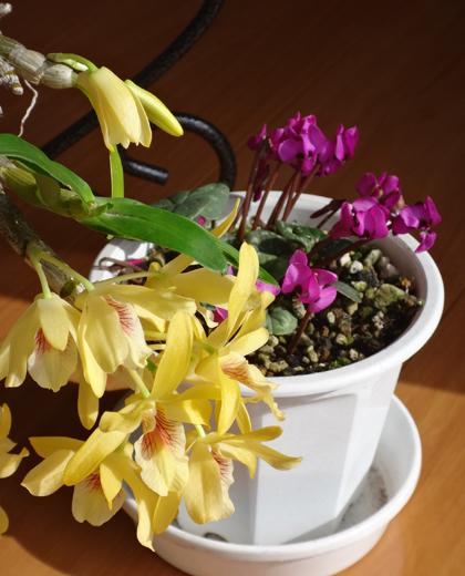 スターダスト・チヨミと原種シクラメンコウムの開花など_a0136293_15215798.jpg
