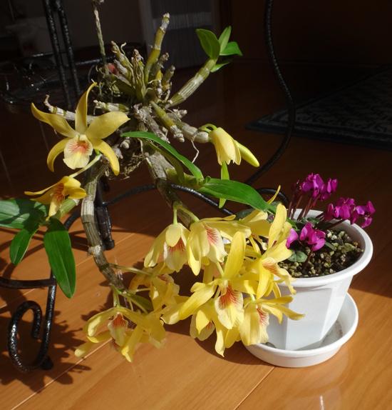 スターダスト・チヨミと原種シクラメンコウムの開花など_a0136293_15232368.jpg