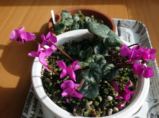 スターダスト・チヨミと原種シクラメンコウムの開花など_a0136293_15233347.jpg