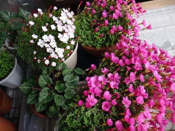 スターダスト・チヨミと原種シクラメンコウムの開花など_a0136293_15283361.jpg