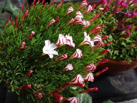 スターダスト・チヨミと原種シクラメンコウムの開花など_a0136293_15292195.jpg