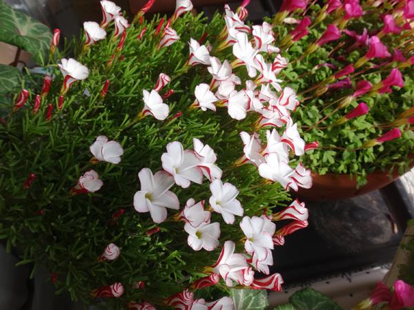 スターダスト・チヨミと原種シクラメンコウムの開花など_a0136293_15294367.jpg