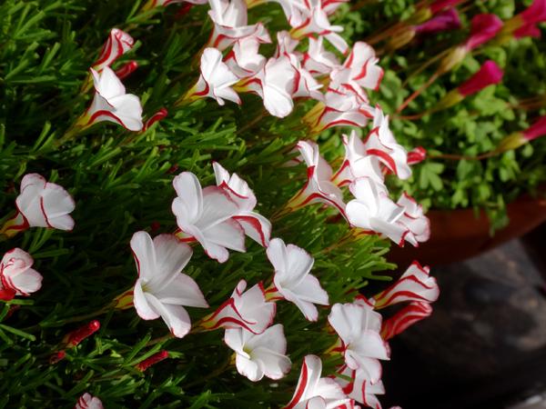 スターダスト・チヨミと原種シクラメンコウムの開花など_a0136293_15295343.jpg