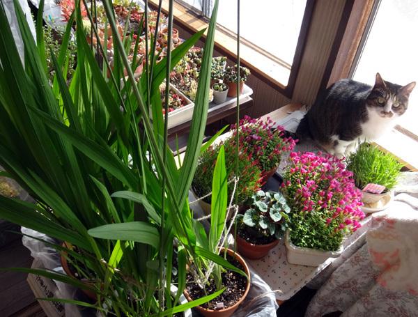 スターダスト・チヨミと原種シクラメンコウムの開花など_a0136293_15324489.jpg