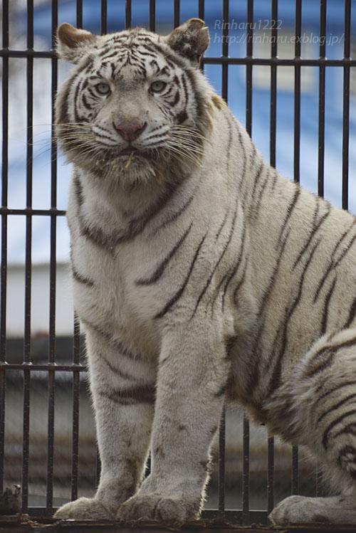 2018.2.3 宇都宮動物園☆ホワイトタイガーのシラナミ姫 <その4>【White tiger】_f0250322_20242092.jpg