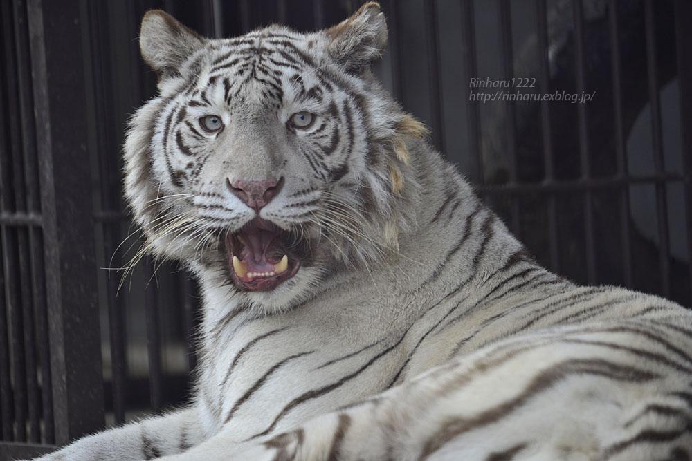2018.2.3 宇都宮動物園☆ホワイトタイガーのシラナミ姫 <その4>【White tiger】_f0250322_20252392.jpg