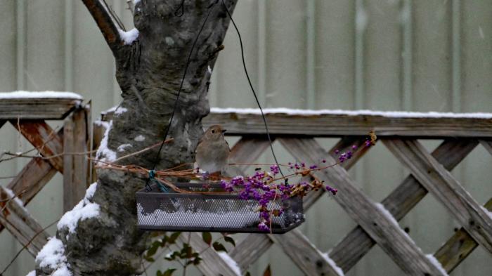 福島市自宅庭 「飛んできた野鳥」_d0106628_20150384.jpg