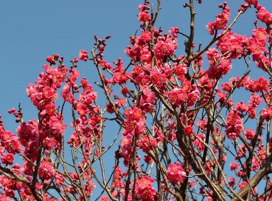 甲東梅林で梅の薫りを満喫する_b0102572_14591154.jpg