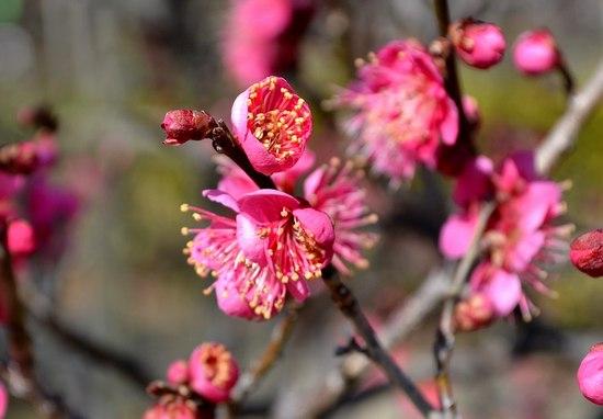 甲東梅林で梅の薫りを満喫する_b0102572_14593976.jpg