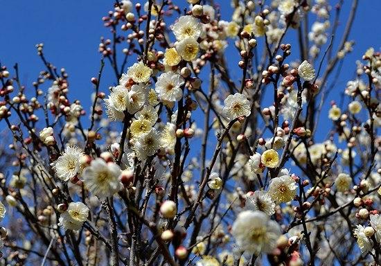 甲東梅林で梅の薫りを満喫する_b0102572_1459496.jpg