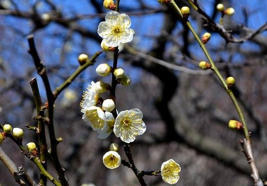 甲東梅林で梅の薫りを満喫する_b0102572_15035.jpg