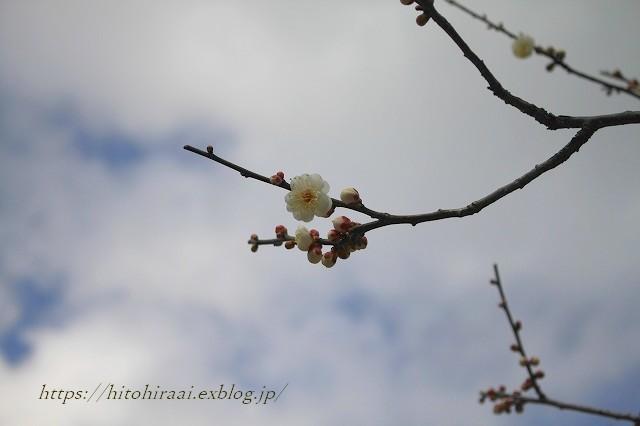北鎌倉冬の花紀行 円覚寺~東慶寺(梅と椿)_f0374092_11282580.jpg