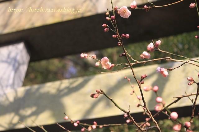 鎌倉荏柄天神の梅_f0374092_16080215.jpg