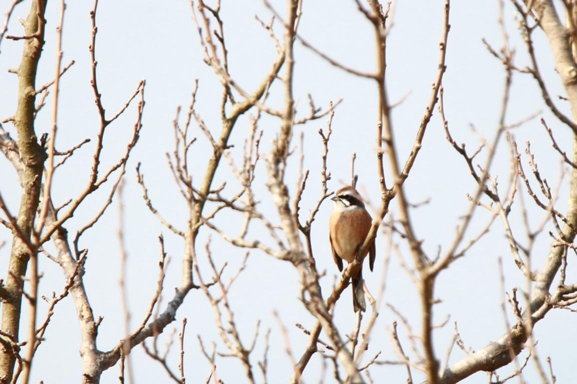 鴻巣市の白鳥_e0291438_19043467.jpg