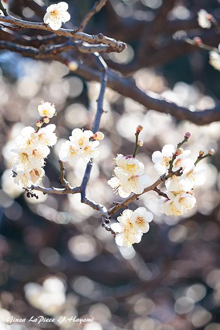 花のある風景 咲き始めの白梅_b0133053_00451299.jpg