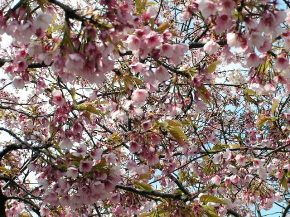 墨田公園で花見!_a0268377_21072210.jpg