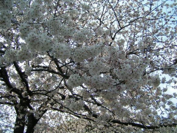 墨田公園で花見!_a0268377_21072275.jpg
