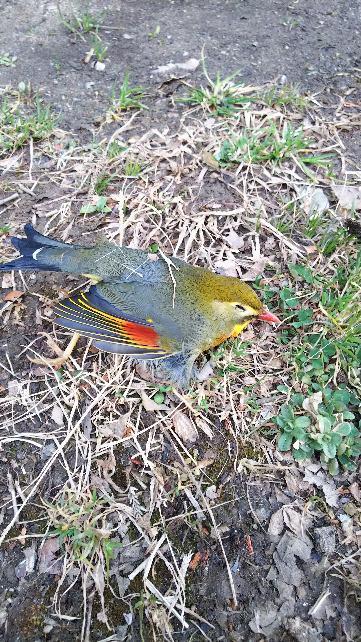 相思鳥の悲劇_e0303187_22472375.jpg