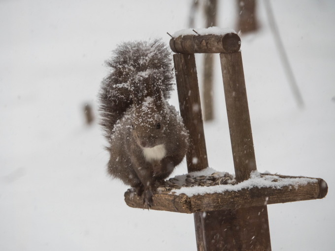 雪まみれのエゾリス君の後・・真っ赤なオオマシコさんがやって来ました。_f0276498_00345401.jpg