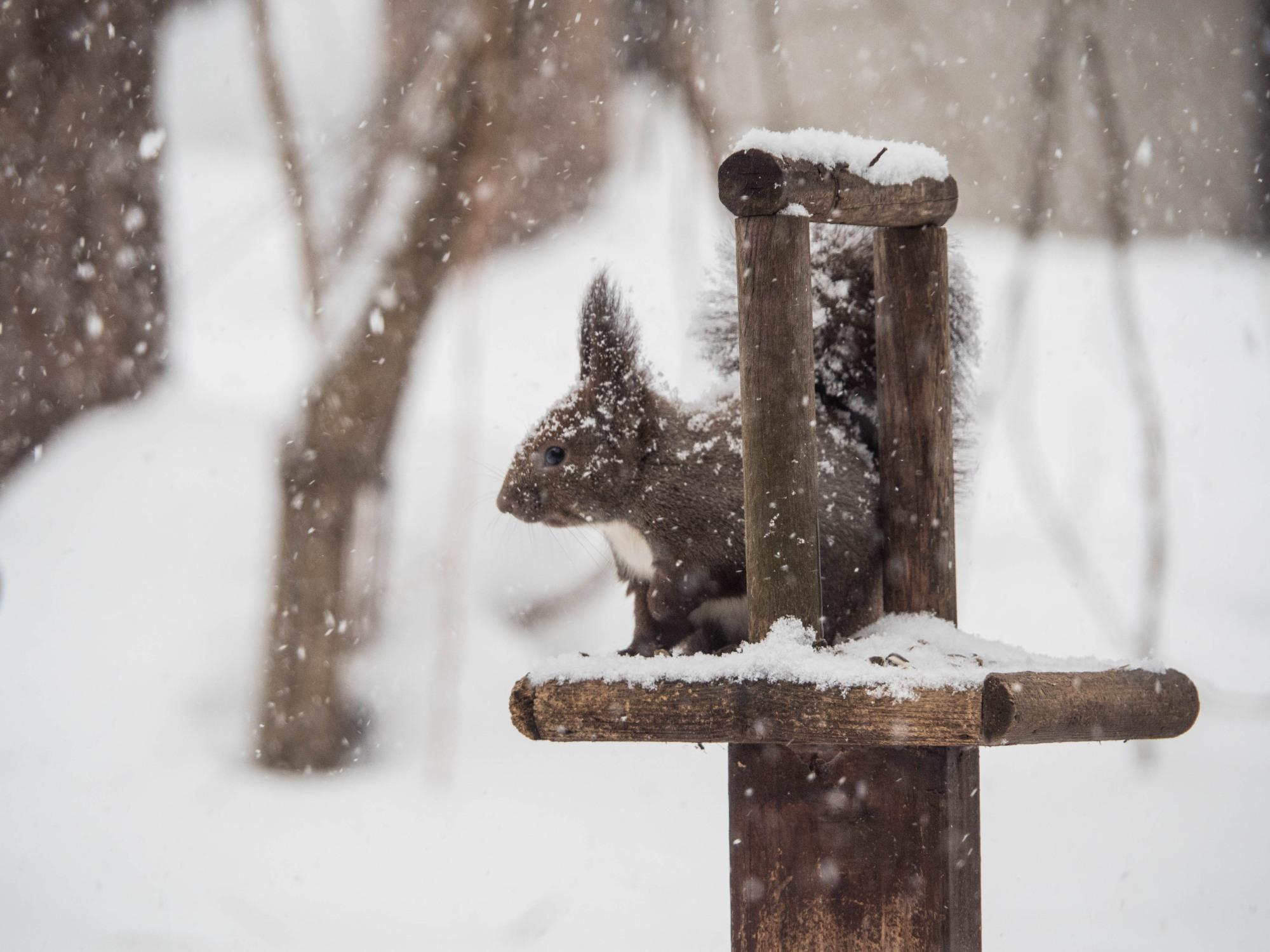 雪まみれのエゾリス君の後・・真っ赤なオオマシコさんがやって来ました。_f0276498_00361259.jpg