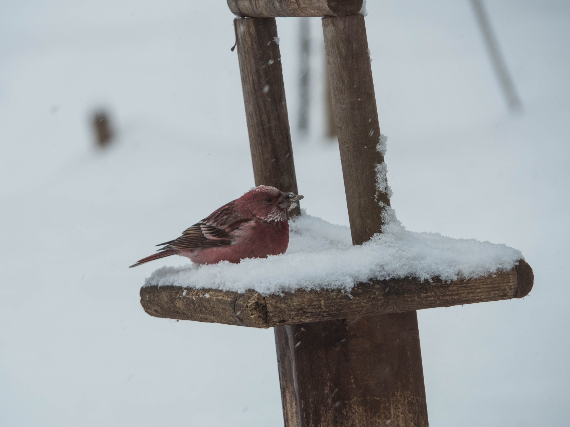雪まみれのエゾリス君の後・・真っ赤なオオマシコさんがやって来ました。_f0276498_00374399.jpg