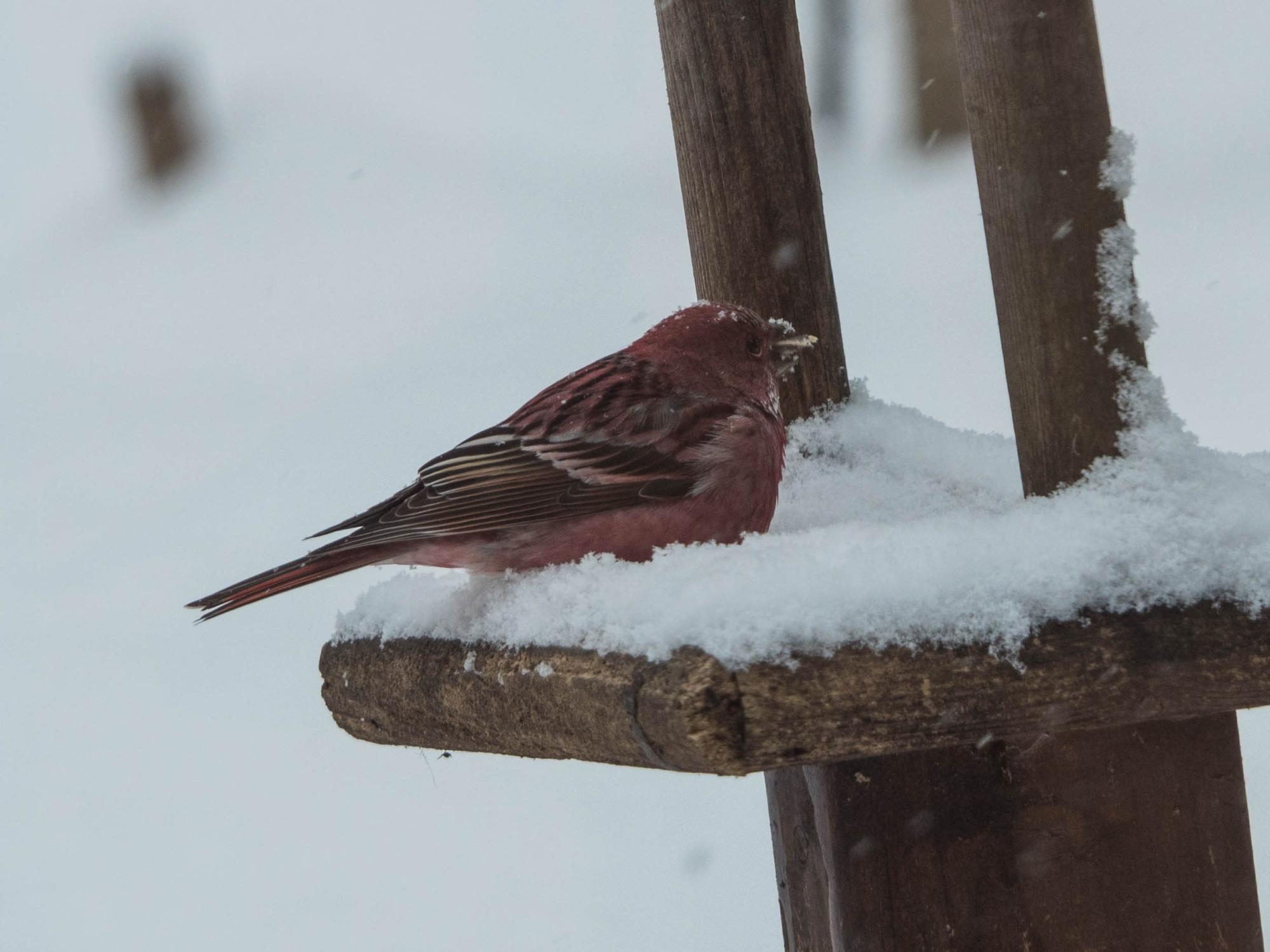 雪まみれのエゾリス君の後・・真っ赤なオオマシコさんがやって来ました。_f0276498_00380859.jpg