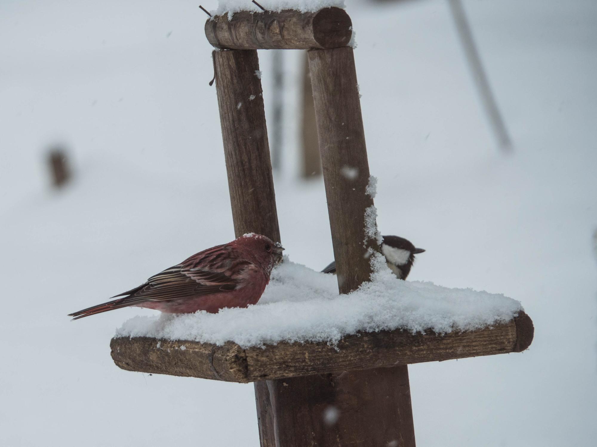 雪まみれのエゾリス君の後・・真っ赤なオオマシコさんがやって来ました。_f0276498_00384896.jpg