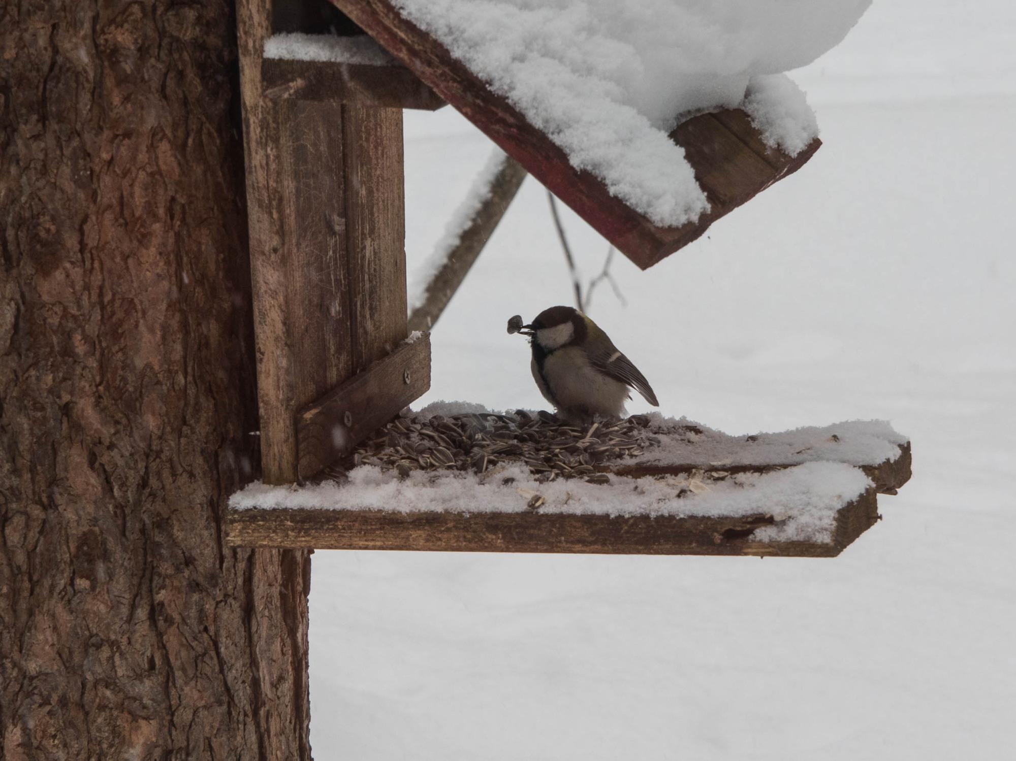 雪まみれのエゾリス君の後・・真っ赤なオオマシコさんがやって来ました。_f0276498_00392573.jpg