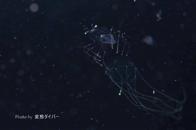 浮遊系ナイトダイビングその2_c0211615_10381622.jpg