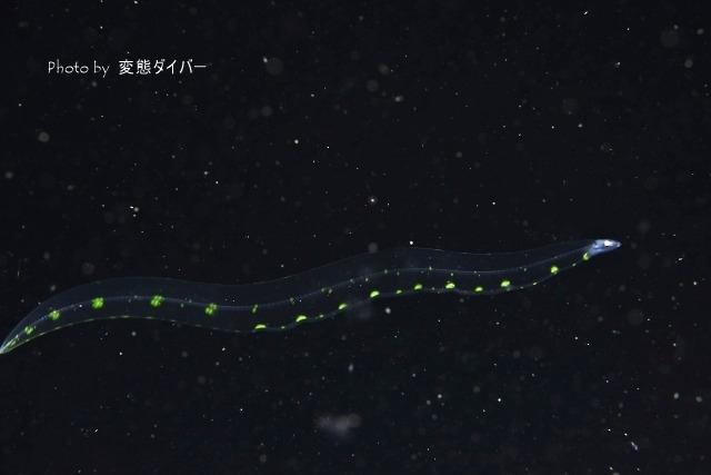 浮遊系ナイトダイビングその2_c0211615_10394828.jpg