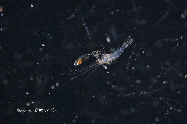 浮遊系ナイトダイビングその2_c0211615_10521416.jpg
