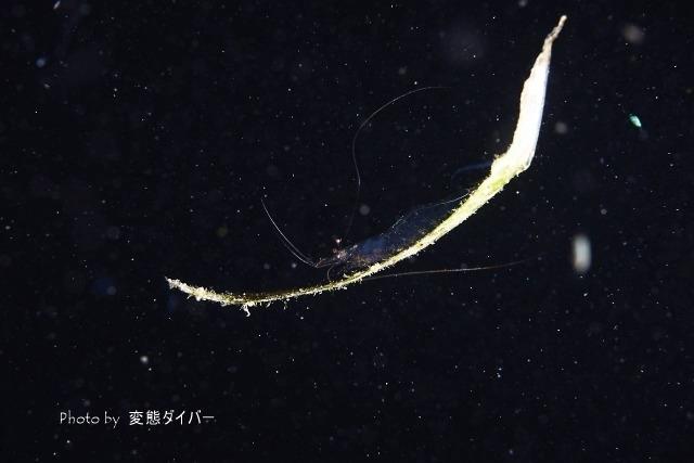 浮遊系ナイトダイビングその2_c0211615_10551268.jpg