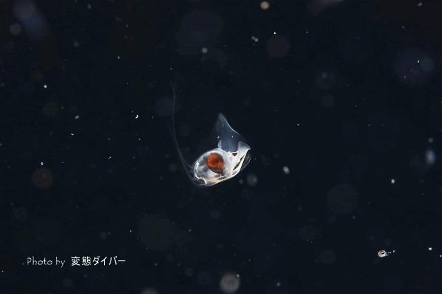浮遊系ナイトダイビングその2_c0211615_10560589.jpg