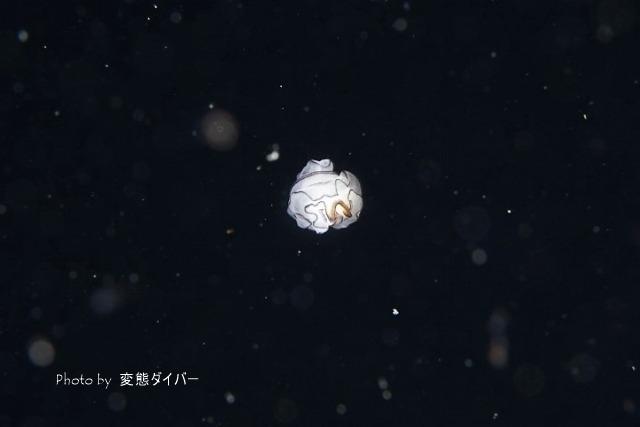 浮遊系ナイトダイビングその2_c0211615_12001465.jpg