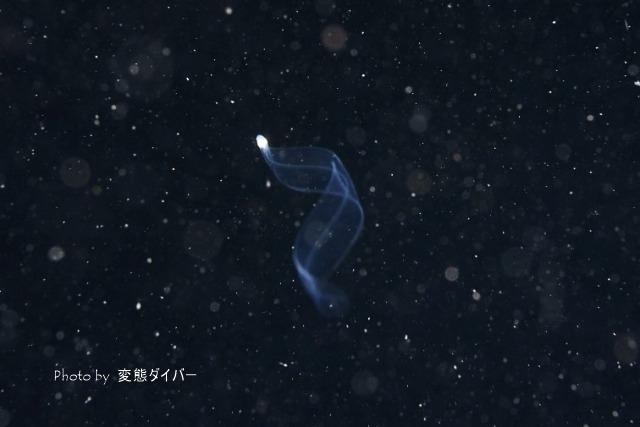 浮遊系ナイトダイビングその2_c0211615_12013047.jpg