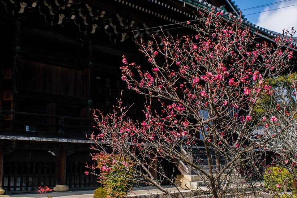 清凉寺の梅_e0363038_2152148.jpg
